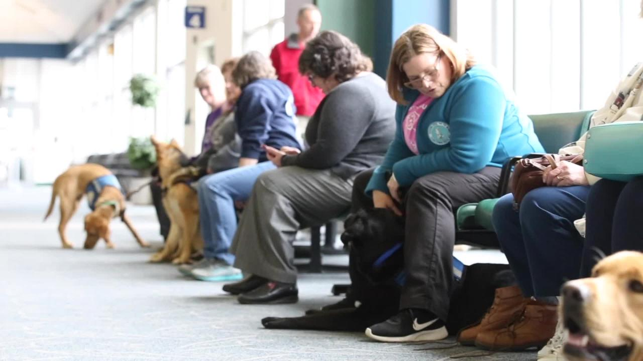 Guiding Eyes for the Blind dogs train at the Elmira Corning Regional Airport.