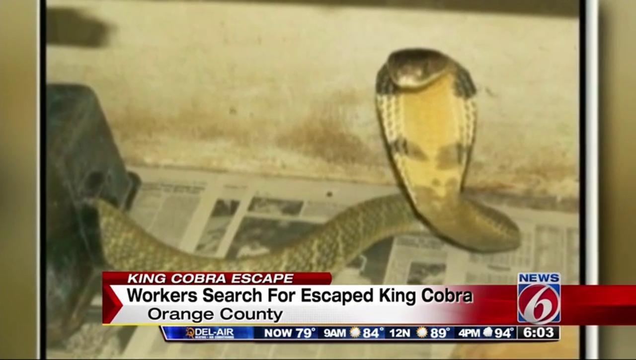 Eight Foot Long King Cobra Still On The Loose In Orlando
