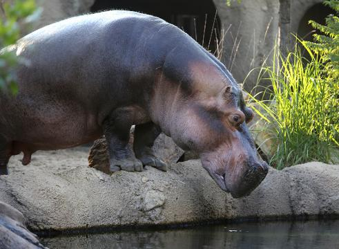 fionas dad henry dies how long do hippos live anyway - Pictures Of Hippos