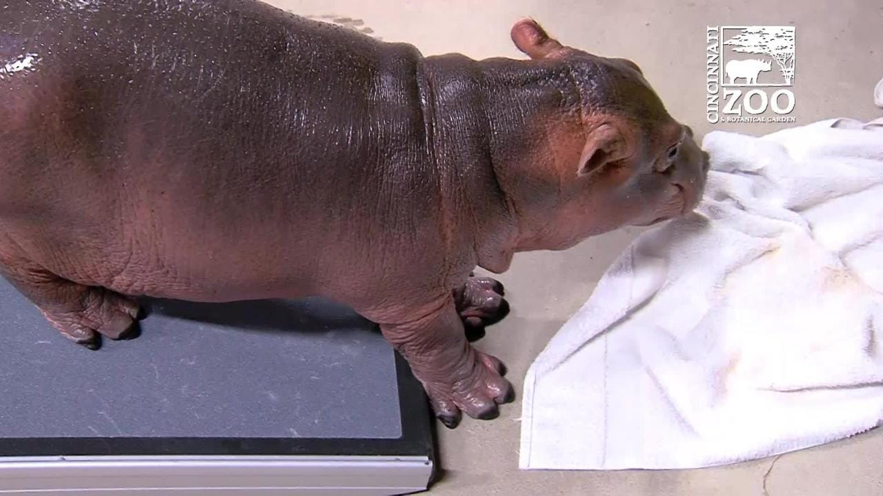 Hippo Fiona gets a ramp