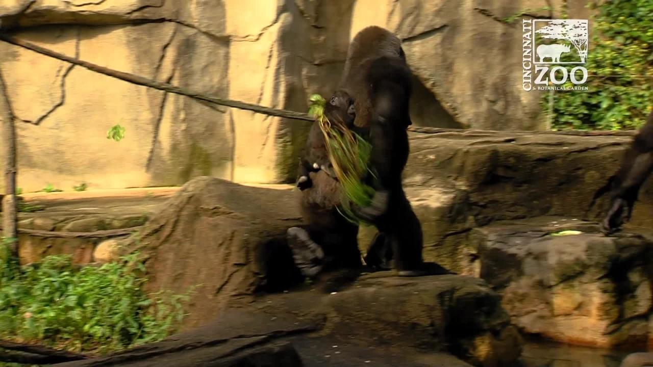 This video from November 2016 details the expansion of Gorilla World at the Cincinnati Zoo & Botanical Garden.
