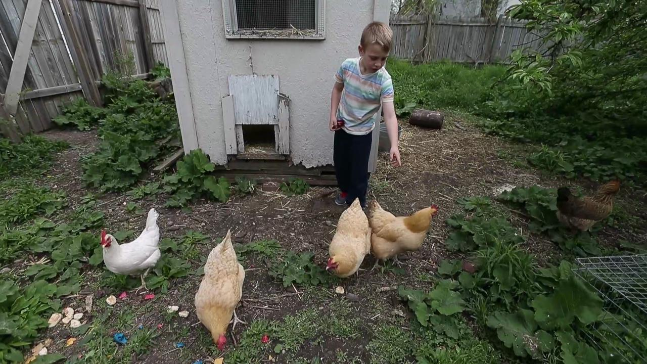 Chickens Backyard backyard chicken trend leads to more disease infections