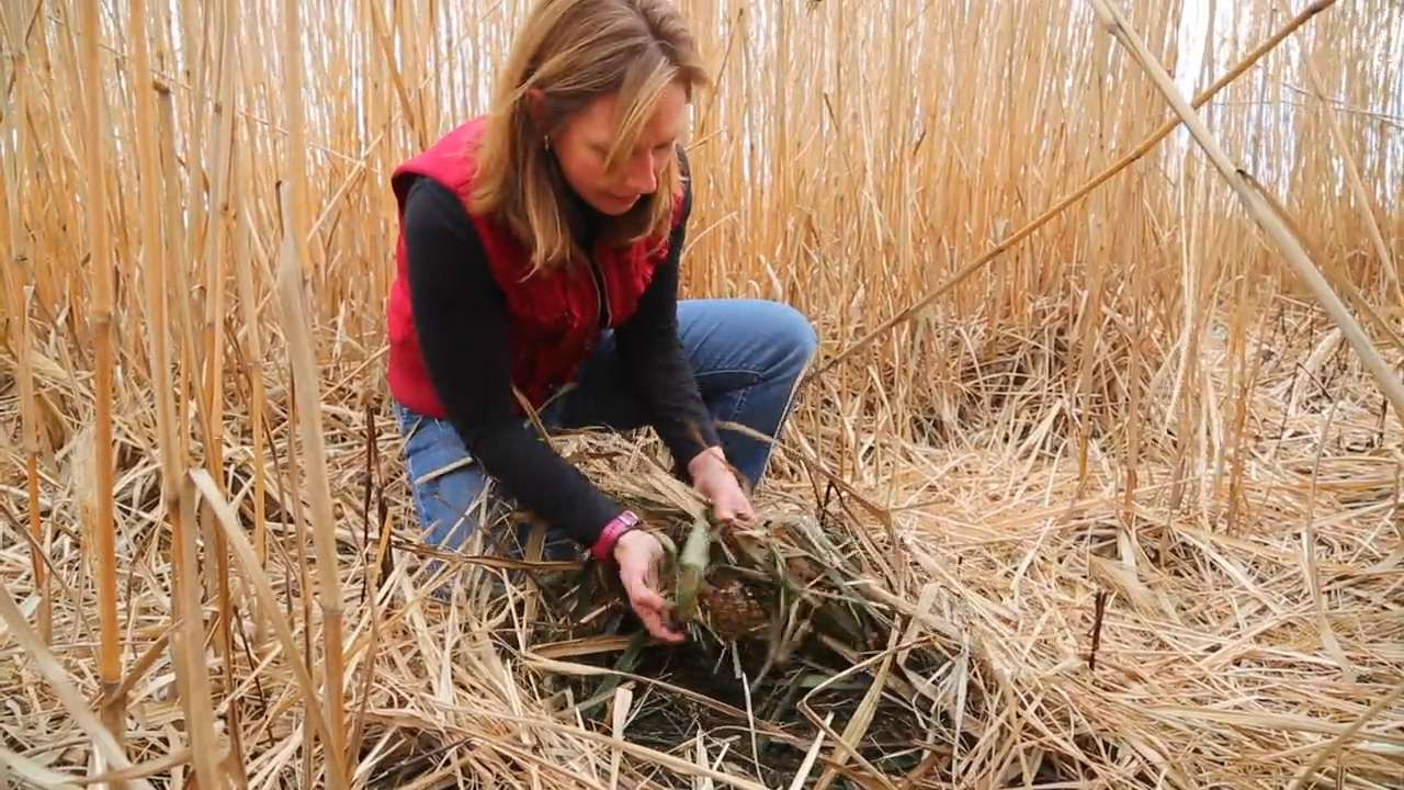 ISU professor turning perennial grass into electricity