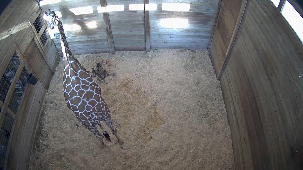Raw video: Watch Baby Giraffe birth at Blank Park Zoo
