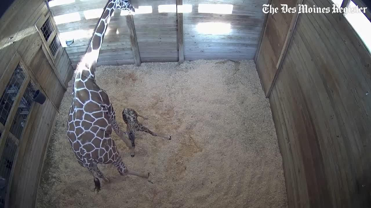 WATCH: Blank Park Zoo's new baby giraffe walks for the first time