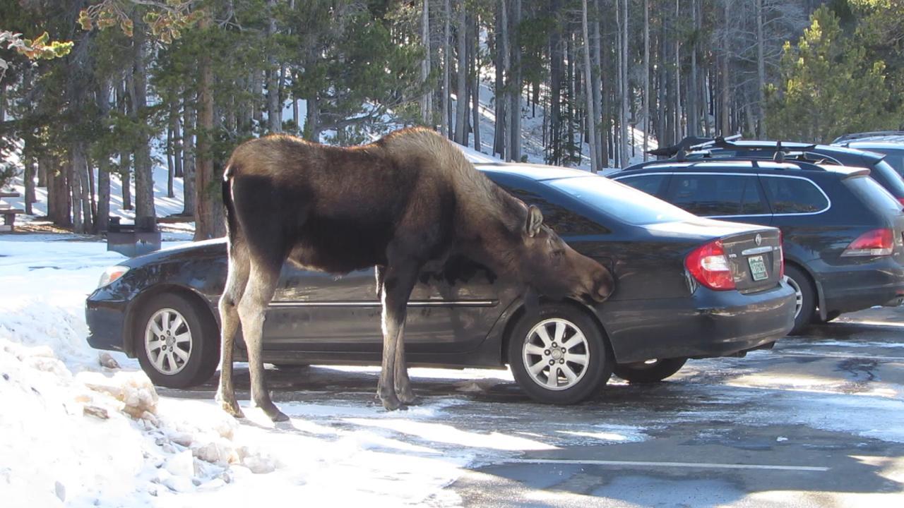 Car-licking moose in RMNP