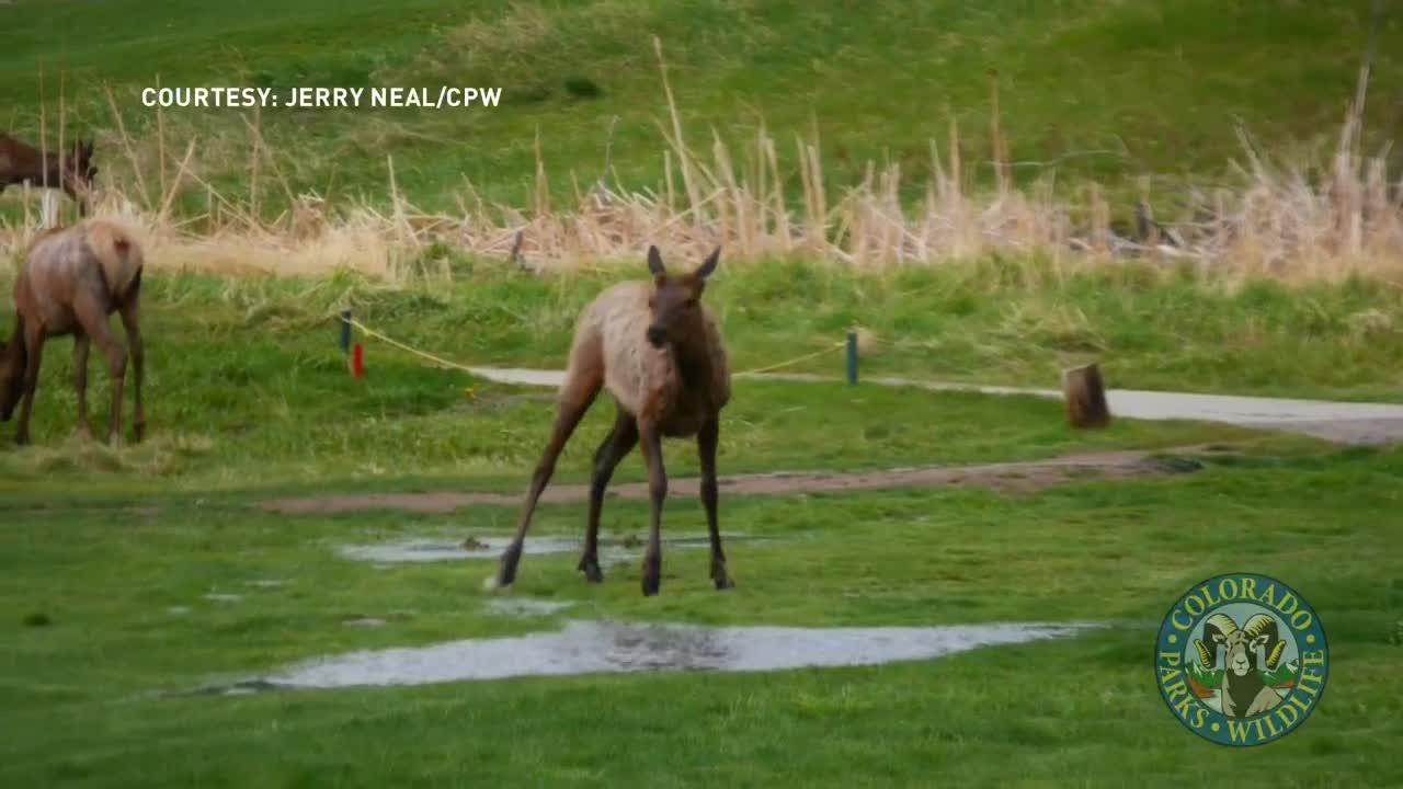Watch: Elk dances in puddles near Evergreen
