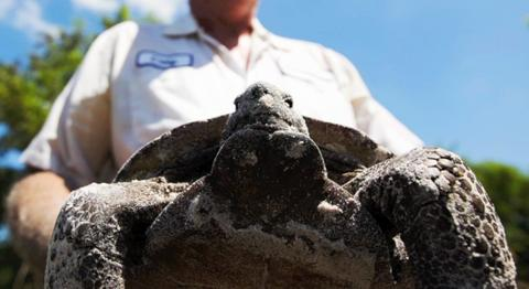 Gopher tortoises relocated from a Bonita Springs vacant property.  Tortoises being removed to make way for dog park.