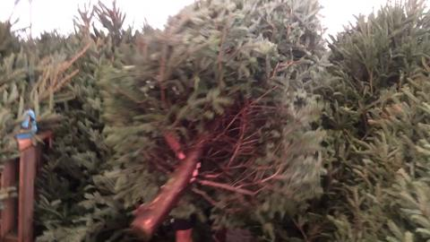 real christmas trees popular in sw florida fir sure - How Long Do Real Christmas Trees Last