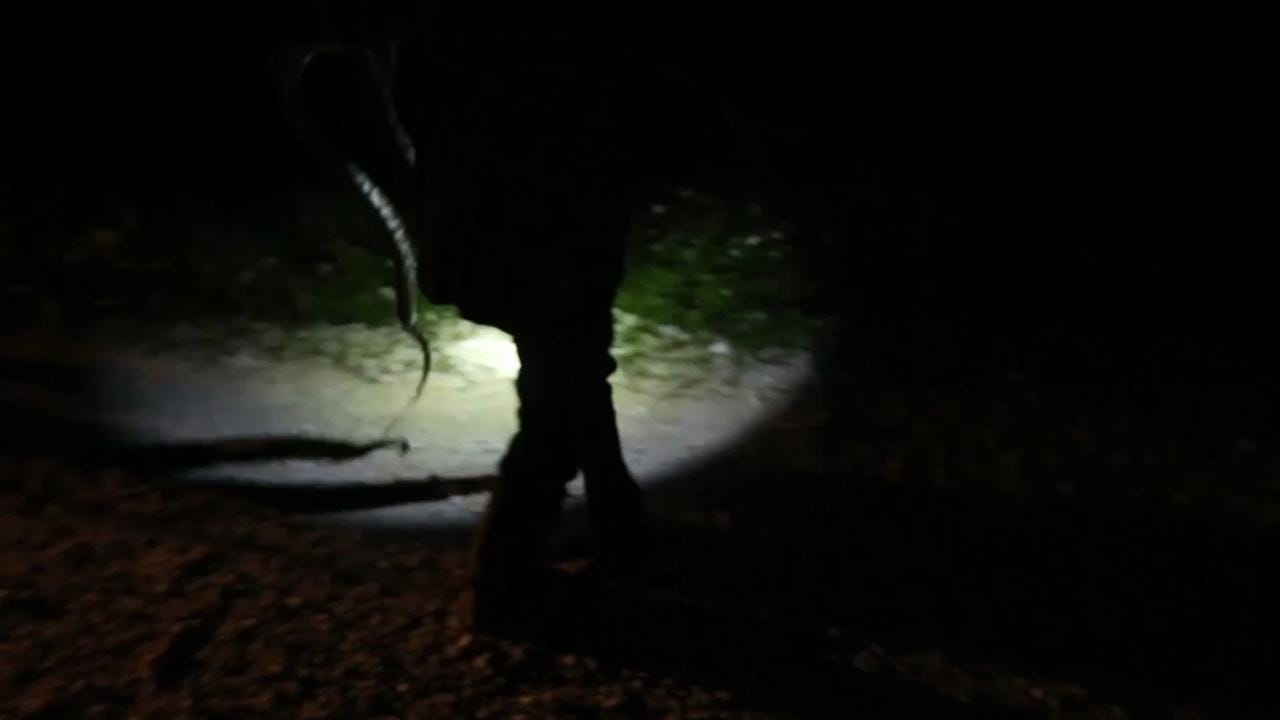 Watch wild python bite man in Everglades