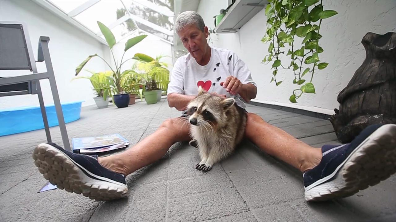 Southwest Florida's famous blind raccoon died in his caregiver's arms at the age of 12 1