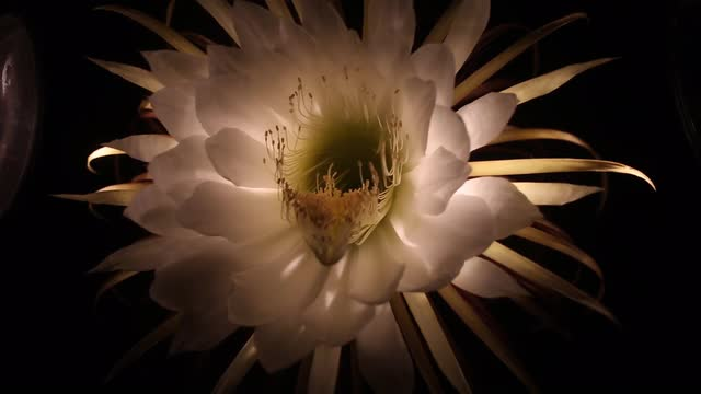 Time lapse video of night blooming cereus mightylinksfo