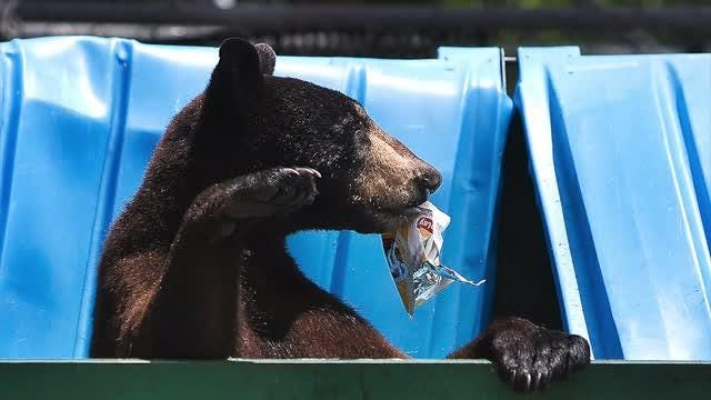 An introduction to the Florida black bear