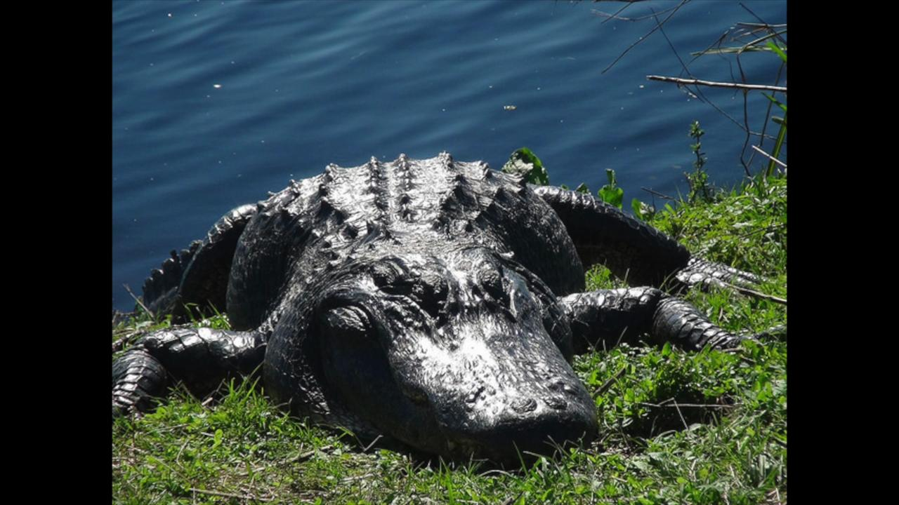 An introduction to the Florida alligator