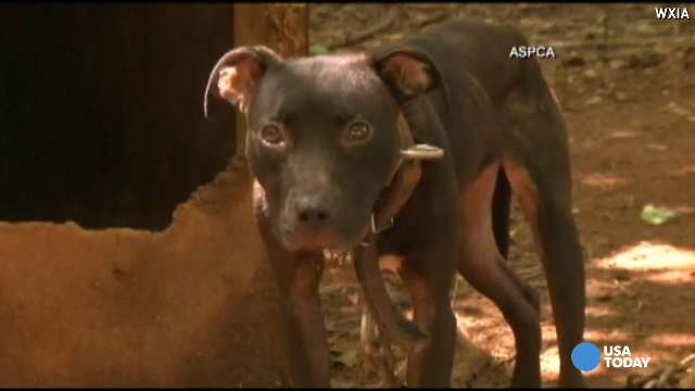 Dog fighting ring: 367 pit bulls rescued