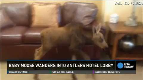 Baby moose on the loose in Vail hotel lobby