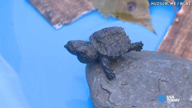 Two-headed turtle crosses the road...not a joke!