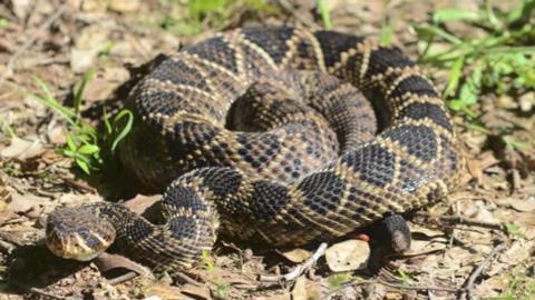 Venomous Snakes Of Mississippi - Poisonous snakes in mississippi