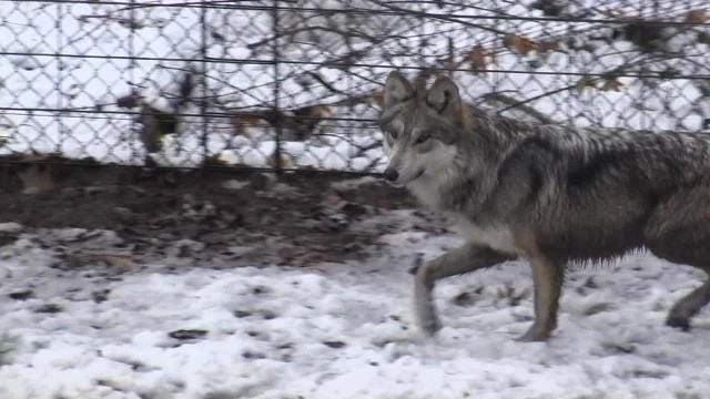 Binder Park Zoo is once again home to Mexican gray wolves. Hear from Mackenzie Couch, 12, who raised money to help pay for the cost.