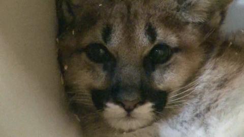 Manitowoc zoo gets baby cougar.
