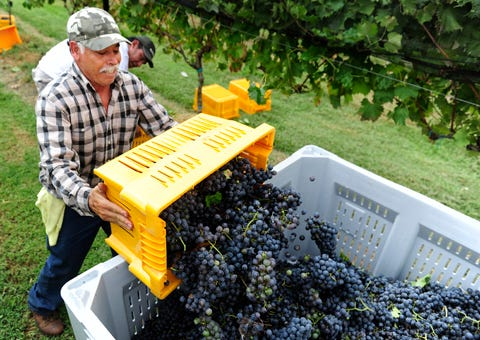 Harvest time for Tennessee vineyards
