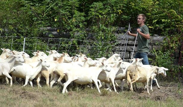 City utilizes sheep to clear invasive plants at Civil War park