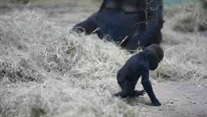 Knoxville Zoo baby gorillas growing up