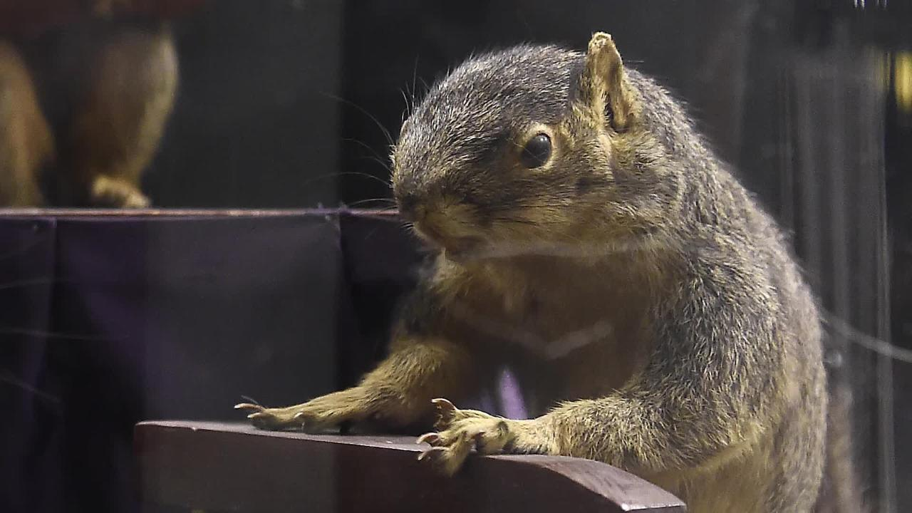 Squirrel with swinging nuts