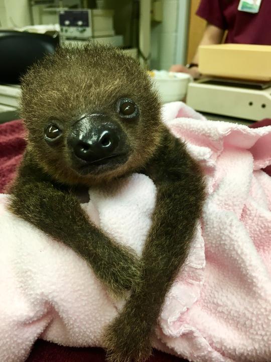 baby sloth - lua