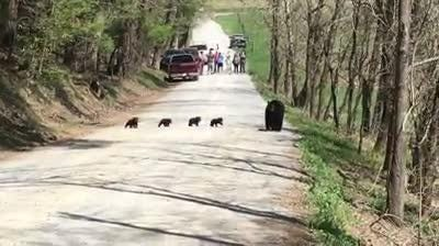 Knoxville Used Cars >> Mama bear and cubs crossing the road in Cades Cove