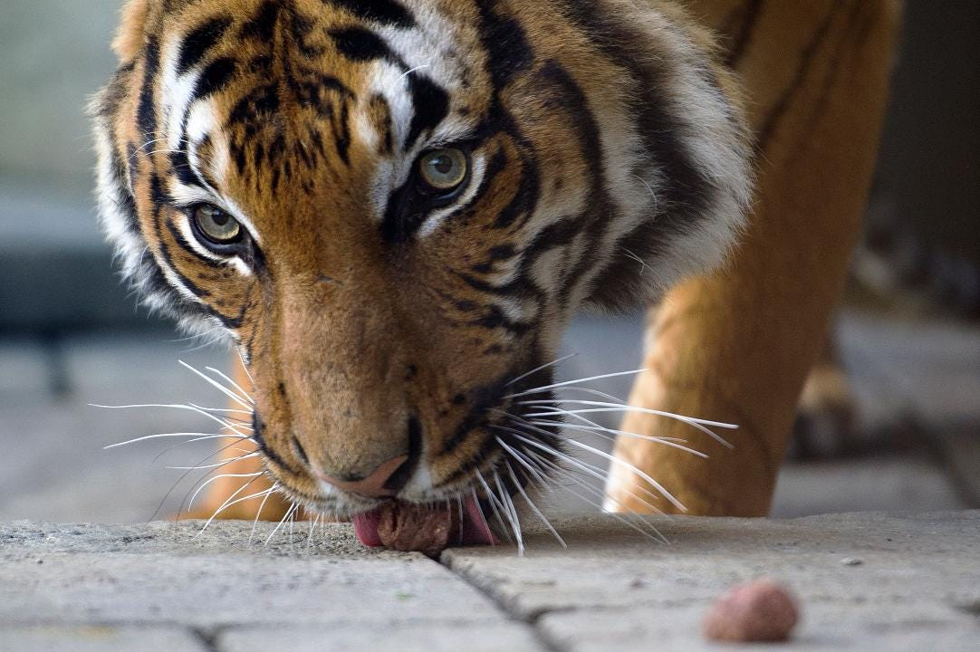Video: Tiger Forest opens at Zoo Knoxville