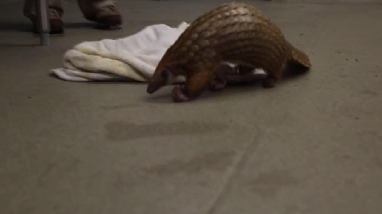 Endangered pangolins latest arrival at Memphis Zoo