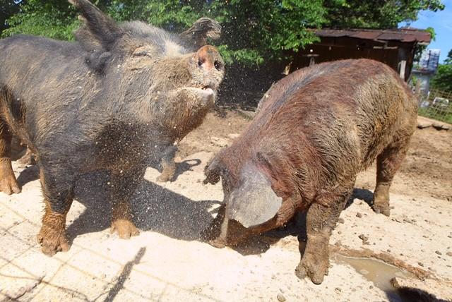 Melissa Cookston attempts to breed the 'perfect' hog for BBQ fest
