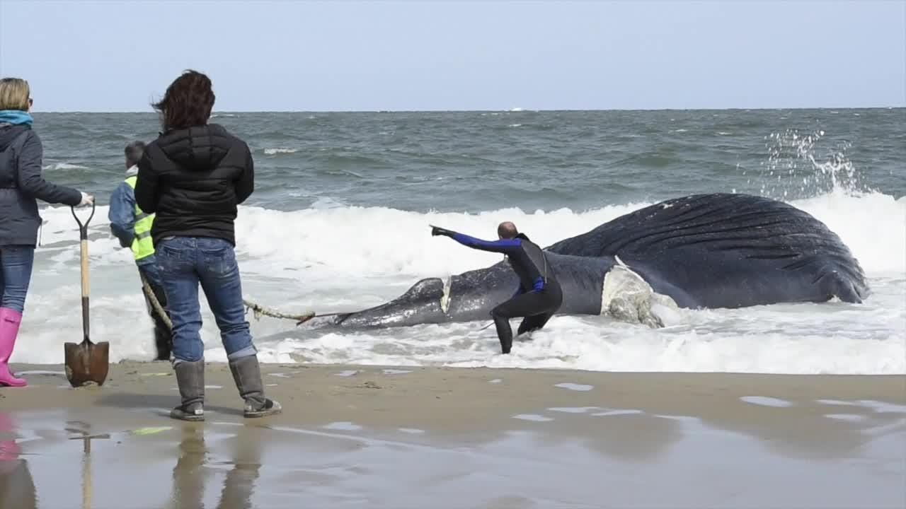 Whale washes ashore at Deauville Beach