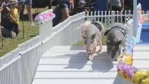 Chase's Racing and Swimming Pig Show at the Ottawa County Fair on Thursday, July 17, 2014.