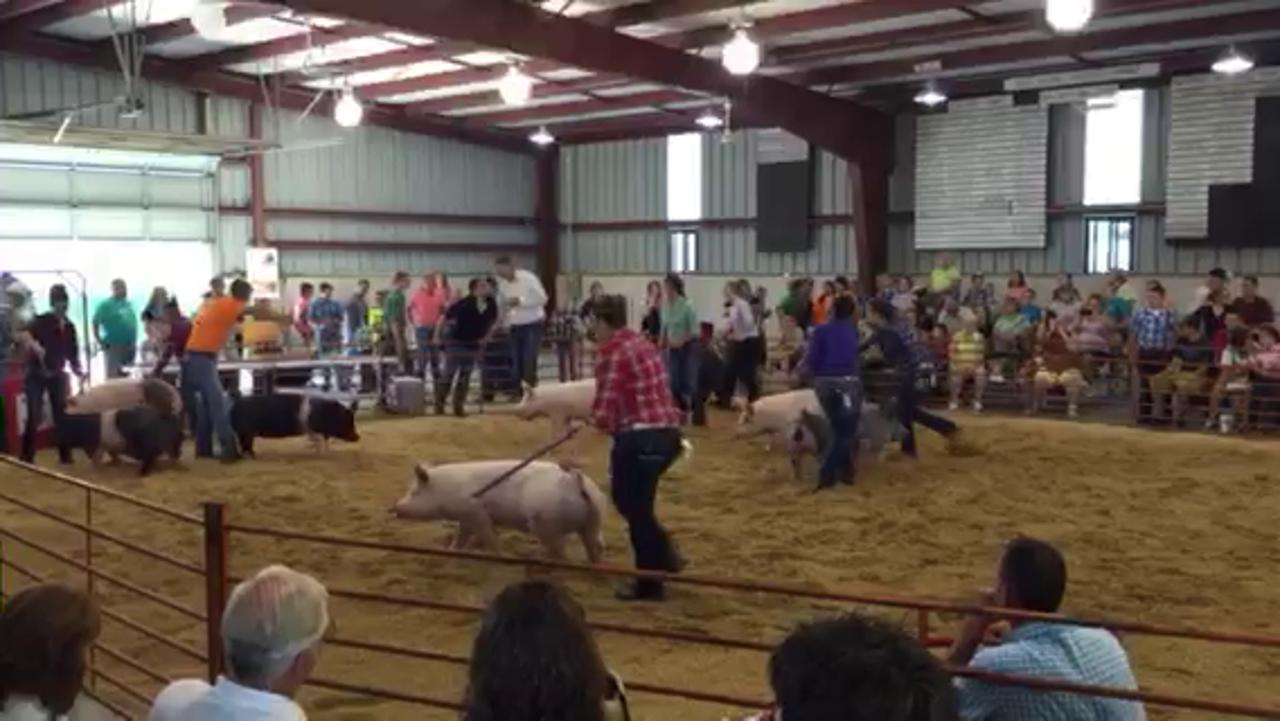 Youths lead their pigs around the ring Monday morning in the senior portion of the swine showmanship event at the Crawford County Fair.