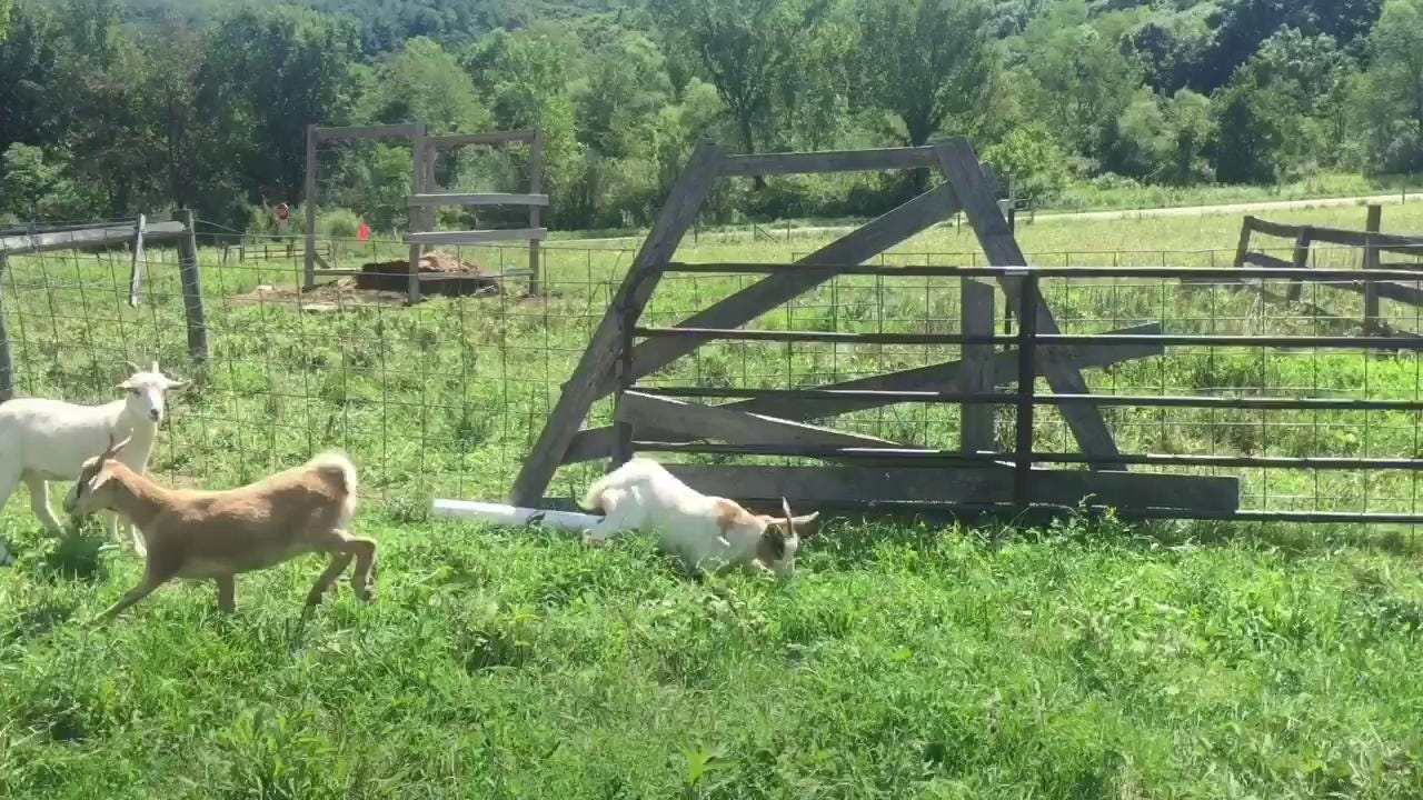 Kid Valley Farms raises myotonic goats. Myotonic goats are more commonly known as fainting goats because they can become stiff and fall when they're startled.