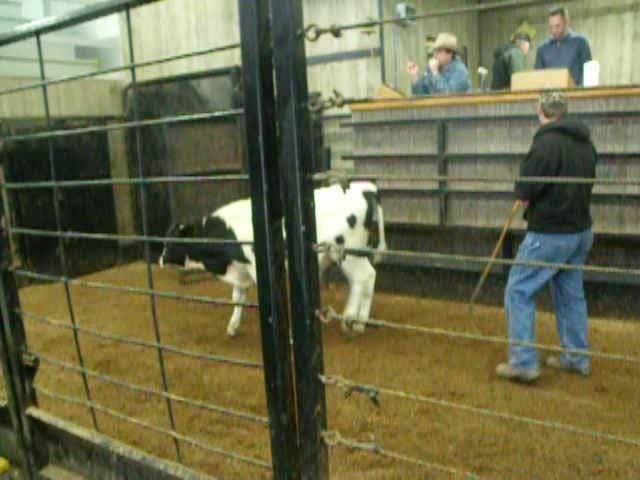 The Indiana & Michigan Haiti Benefit Heifer Auction was held at the Shipshewana Auction Barn in Shipshewana, Ind., on March 28. More than 130 animals were sold to support agricultural projects in Haiti. Featured here is a snippet of the calf auction.