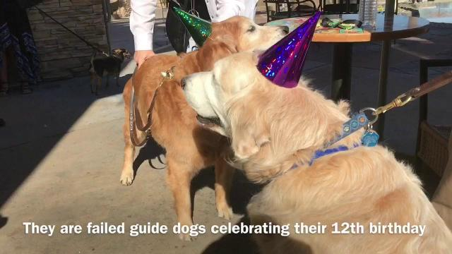 Failed guide dogs Ben and Jerry celebrated their 12th birthday Saturday at Ben & Jerry's in Rancho Mirage. They serve as ambassadors for Guide Dogs of the Desert. (Jan. 28, 2017)