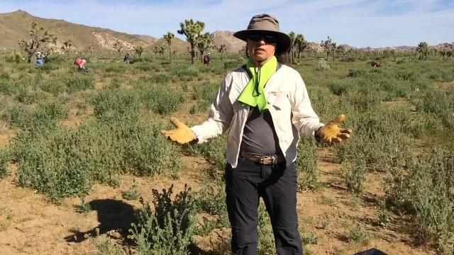 Friends of the Desert Mountains'  Weed Warriors volunteer program spent part of Earth Day clearing tumble mustard from an area of Joshua Tree National Park.