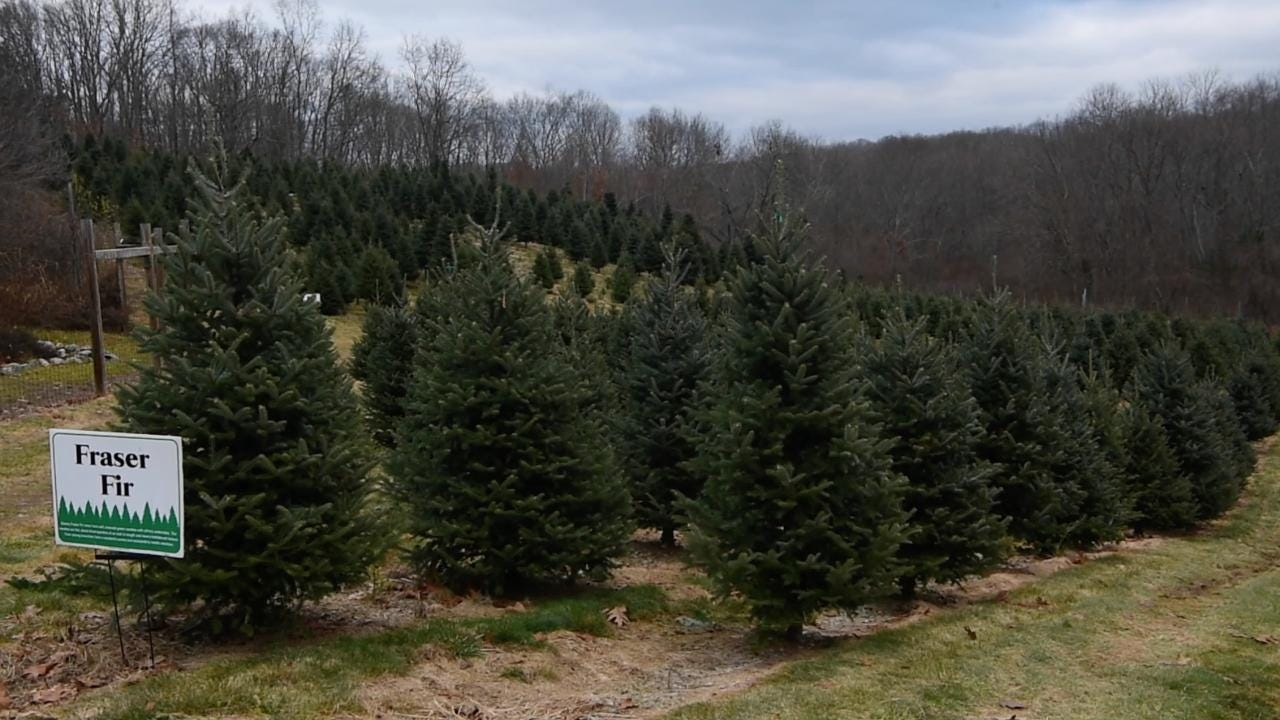 U Cut Christmas Trees.Tips On Buying A Christmas Tree