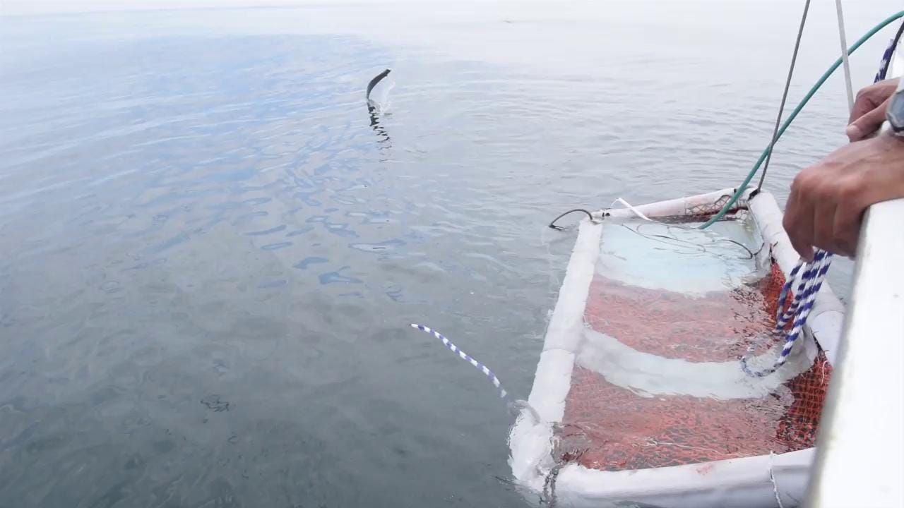 Thresher shark released with satellite tag off Ocean City