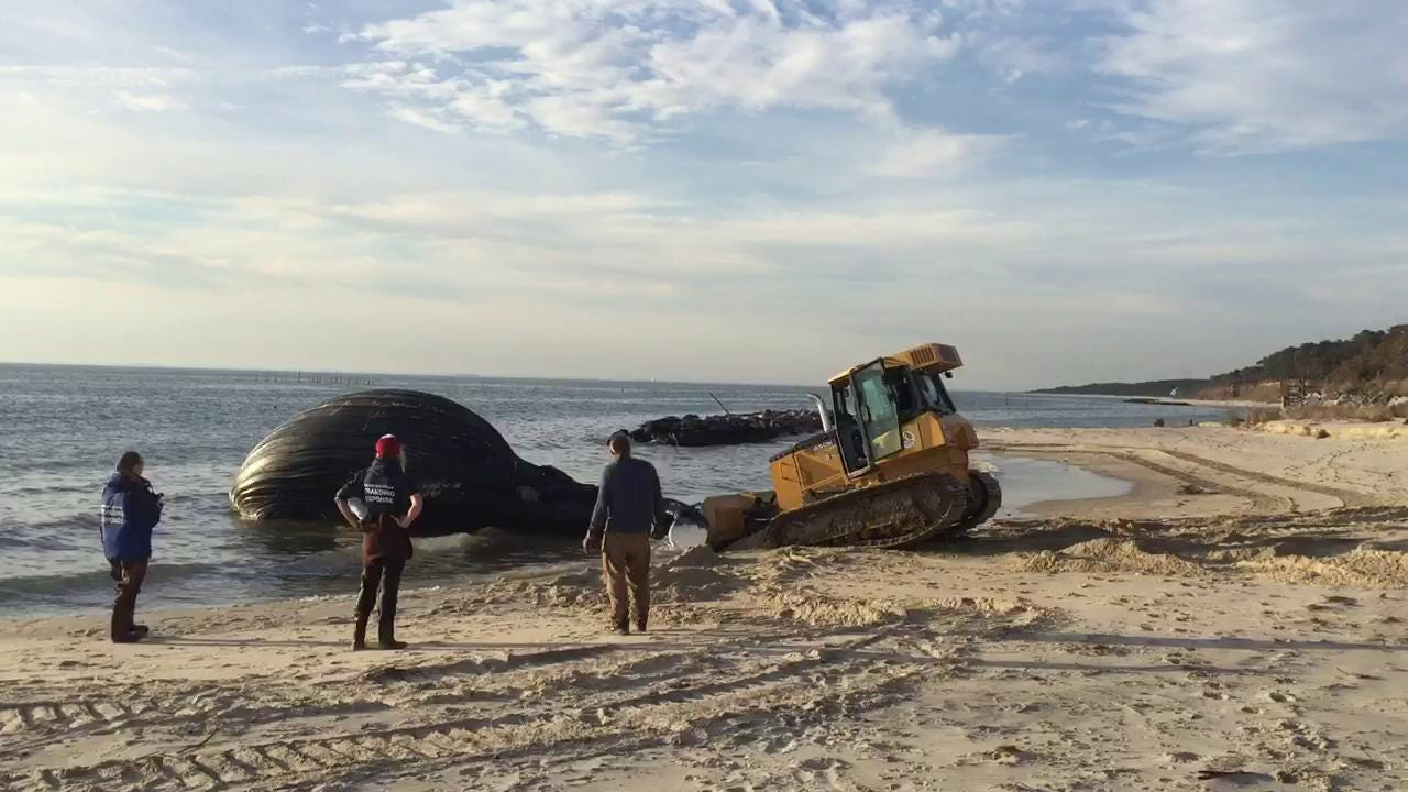 WATCH: Dead whale washes ashore near Cape Charles