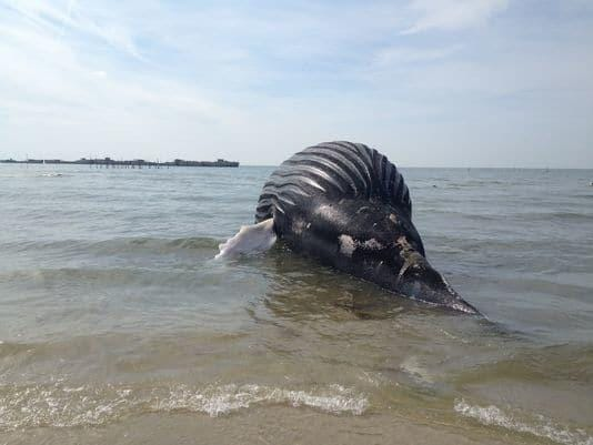 WATCH: Whale body removed from Cape Charles beach