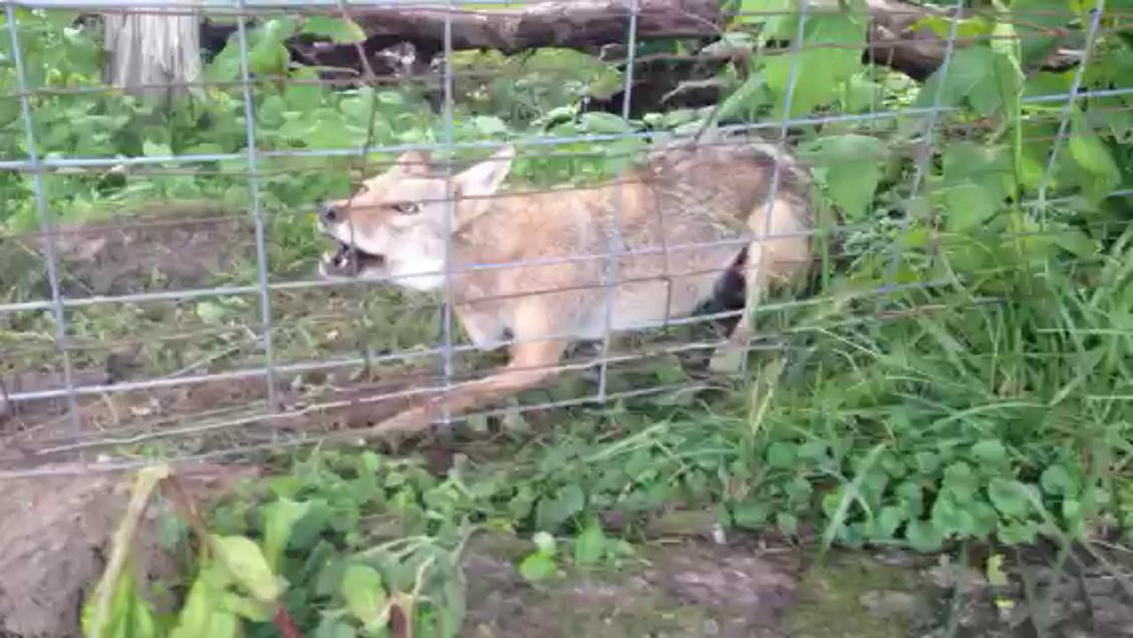 Coyote in snare at Leo Tammi's farm, Shamoka Run Farm, in Mount Sidney.