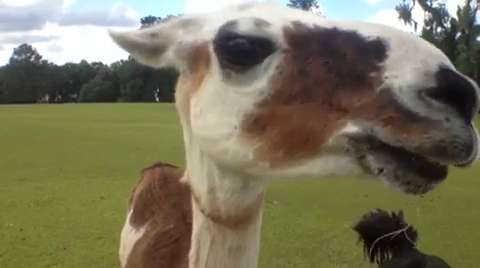 From 2013: Scooter, the adventurous 7-year-old llama that escaped from his home on Millstone Plantation Road late Friday night is now back home, safe and sound.