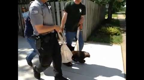 File footage: Authorities captured a black bear in a Wisconsin Rapids yard Wednesday morning, then tranquilized it and moved it to a secluded area 75 to 100 miles from the city for release.