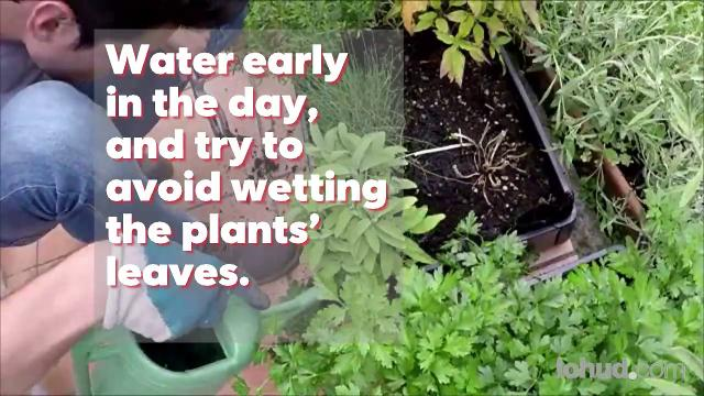 Some easy tips for growing tomatoes