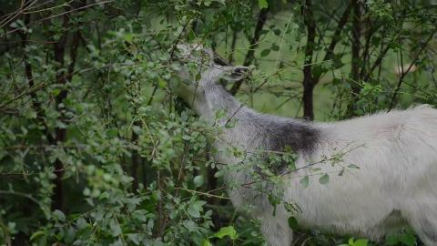 Heritage Hill State Historical Park in Allouez brings in a herd of goats to help eradicate several invasive species and thin extensive undergrowth. (July 4, 2014)