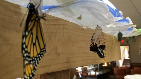 Butterflies captivate at Woodland Dunes in Two Rivers